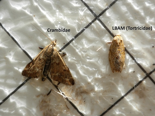 Crambid moth and LBAM male moth as they appear on a pheromone trap sticky card.  Note the differences in size and shape of the two moths, not to mention the large differences in patterns on the wings.