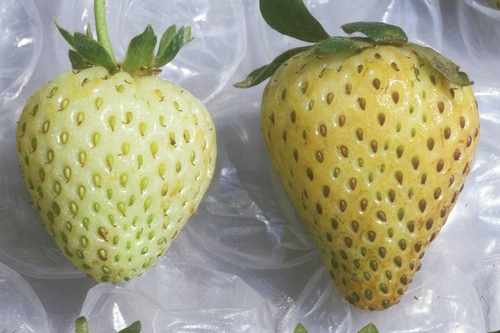 Strawberry fruit on the right is affected by Type III bronzing, a reaction to environmental stress factors. Unaffected fruit is on the left.