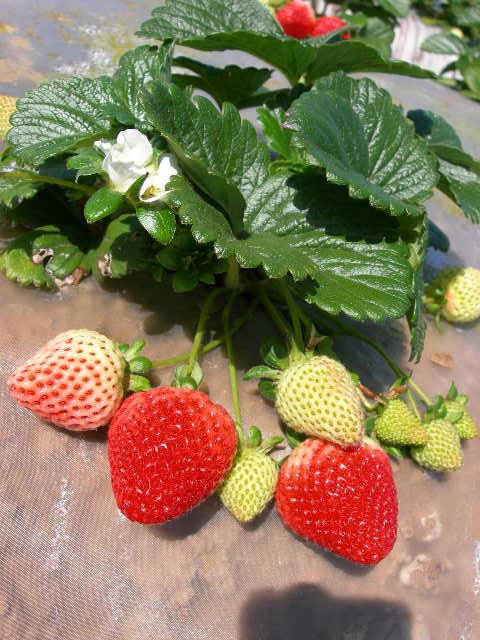 Spanish translation of new cost and return study for strawberries on the Central Coast now available.