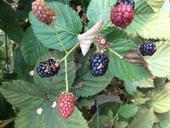 White druplet of blackberry induced by high ultraviolet light.