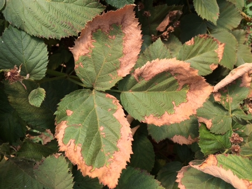 Blackberry leaf margins scalded by the sun and heat.