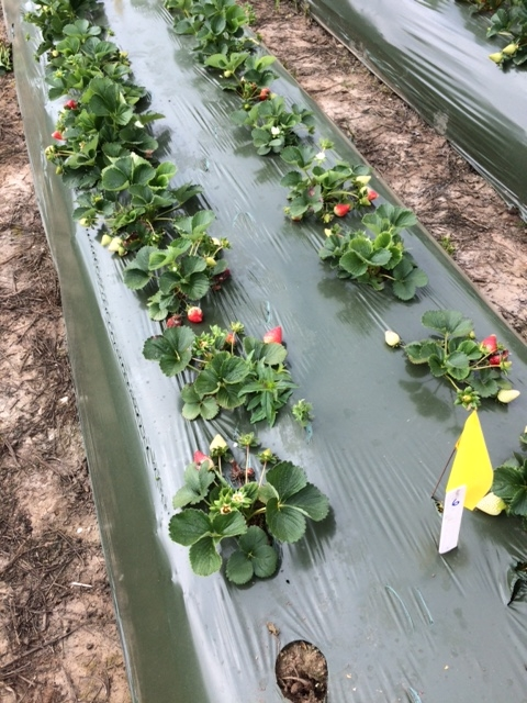 Strawberry variety 'San Andreas' in beds which have been treated KPAM in a crop termination treatment.  Photo: Mark Bolda, UCCE.