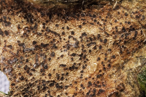 Fungal fruiting bodies are usually present in the leaf blotch lesions.