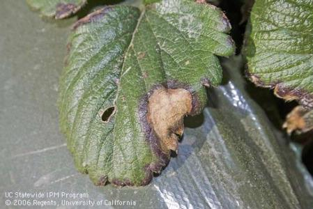 Leaf blotch caused by Zythia fragariae in strawberry. Note the purple margin on the edge of the blotch.