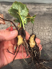 Photo 2: Crown split open on affected plant.  No discoloration, also note how very little the roots have grown over the three months or so since planting.