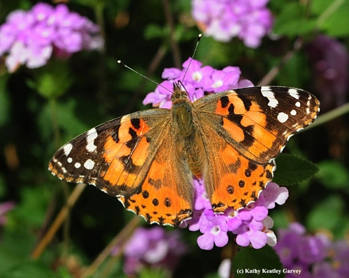 Painted lady adult.  Photo courtesy Kathy Keatley Garvey.