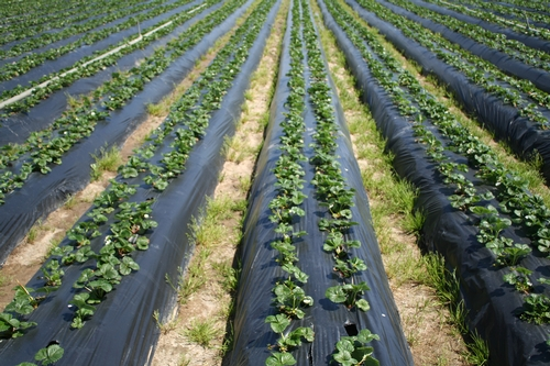 2019 Cost of Production Study for Organic Strawberries Now Available