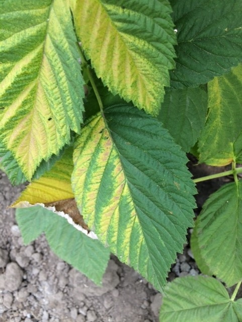 More leaf yellowing on raspberry on one side deriving from heat stress.
