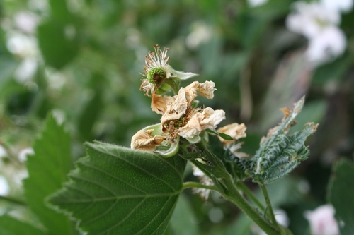 Flower destroyed by leafroller- note damaged immature fruit at top- once blemished like this it will not make properly