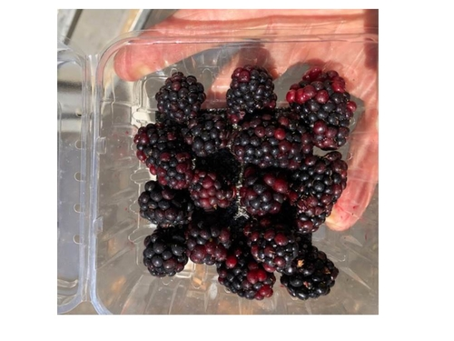 Photo 1: The problem: heavily reddened blackberry fruit after 24 hours of cooling.