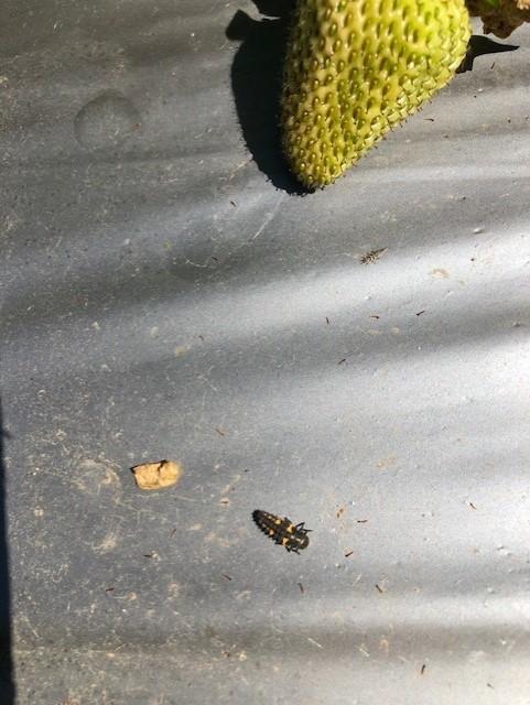 Larva of the convergent ladybird beetle.