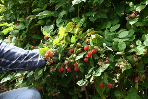 This fruit will not be harvested because of field closure.