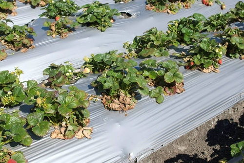 Photo Courtesy Steven Koike, UCCE.  Close up of infected plants.