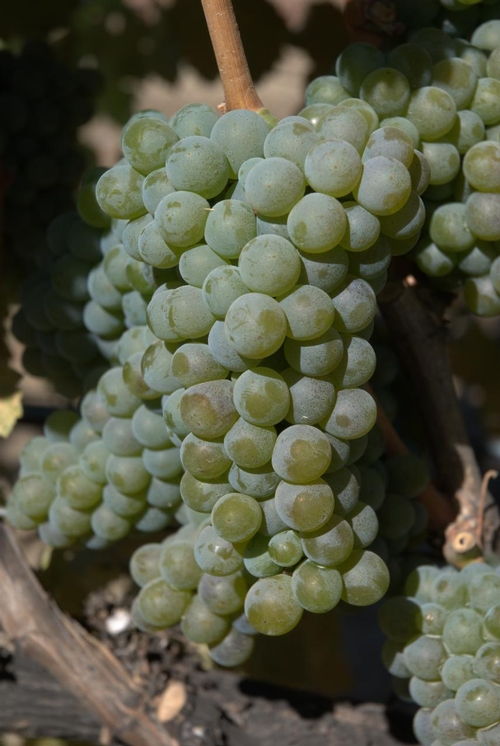 In comparison: A cluster of Sauvignon blanc; fruit numerous and closely packed.