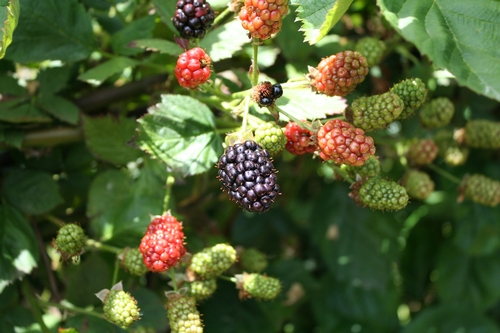 'Natchez' blackberry variety.  Note loose and open fruiting inflorescence