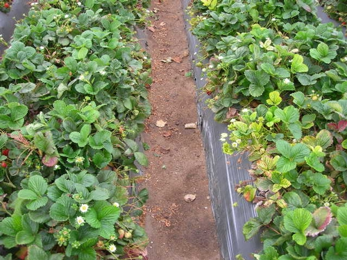 San Andreas strawberry variety.  Row on left had problems with the drip tape and consequently was watered less.  Yellowed plants are also less prominent and fewer in number.