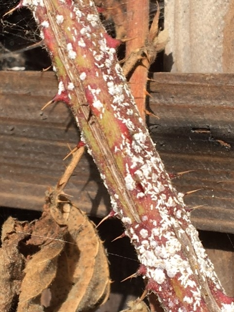 Another photo of older infested cane.  Notice abundance of those small oblong shapes.  Photo by Mike.