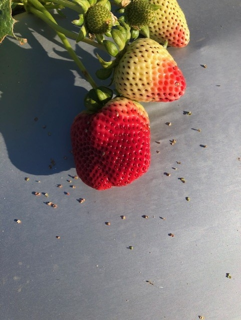 Clear damage from bird feeding on what many know to be the seeds of strawberry.