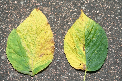 Two leaves from different raspberry varieties from different fields side by side showing very similar symptoms