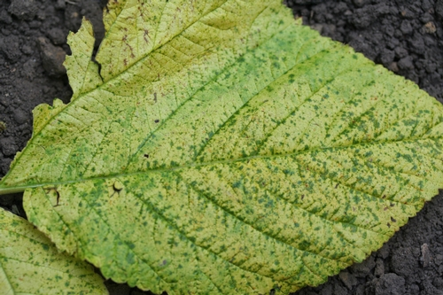 Dark green spots on yellow field of infected raspberry leaf.