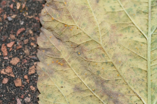 Yellow rust pustules on leaf underside.  Note dark area around pustule in the middle of the picture.