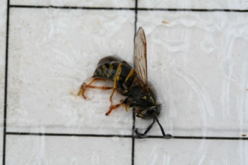 Wasp or hornet caught in same pheromone trap as above.  Note short, club-like antenna, and slender transition from thorax to abdomen.  No scales either.