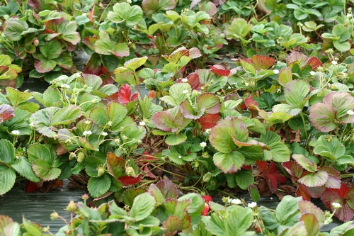 Overview of field of 'Albion' strawberry with major nitrogen deficiency.