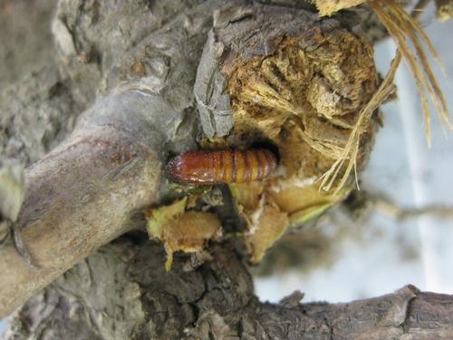 Caneberry borer pupa.  Photo courtesy Mansun Kong, Driscoll's Strawberry Associates