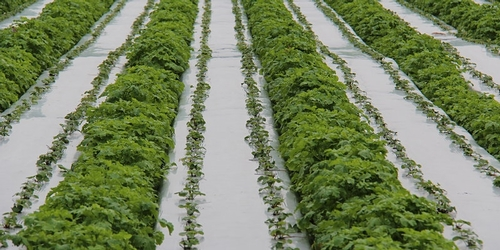 Photo of the type of cover crops planted in furrows of a strawberry field.