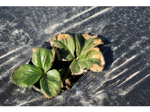 Photo 2. Early manifestation of plant decline.  Courtesy Steven Koike, UCCE.