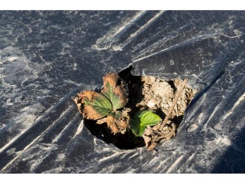 Photo 3.  Severe manifestation of plant decline.  Courtesy Steven Koike, UCCE.