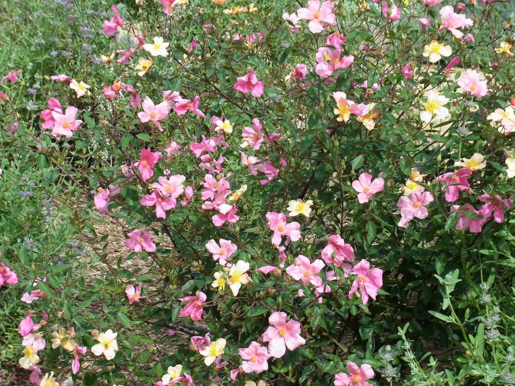 Roses may bee garden plant of the month the bee gardener anr blogs butterfly rose rosa x odorata mutabilis has a mix of yellow pink and deep pink flowers mightylinksfo Gallery