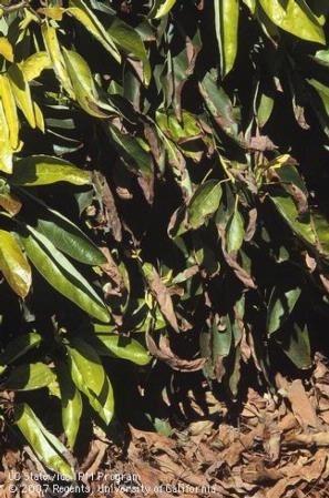 Avocado leaf blight