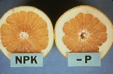 p deficiency in citrus