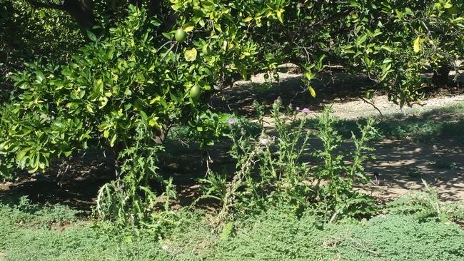 citrus weeds 2