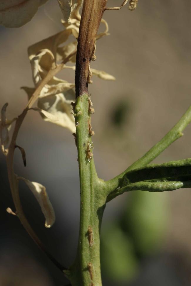 dothiorella dieback citrus