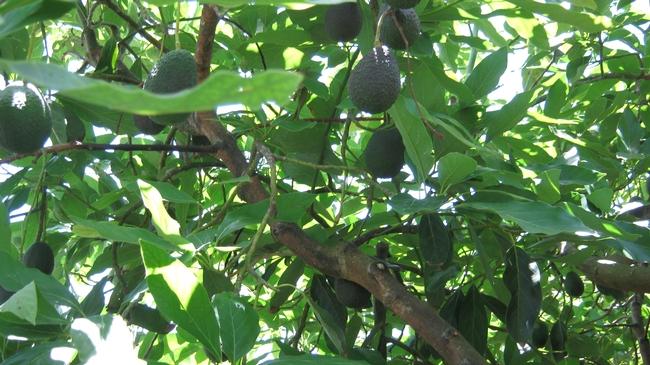 avocado interior fruit