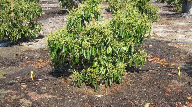 avocado in bloom