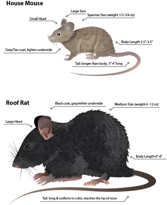 Rooof Rat And Common House Mouse Comparison