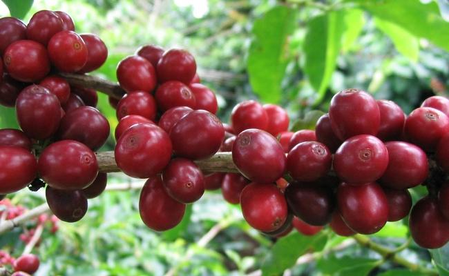 coffee fruit