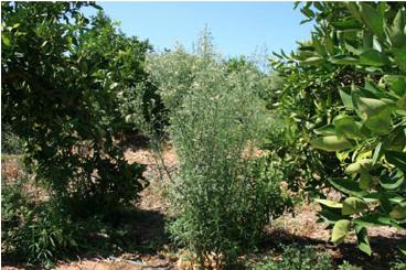 conyza citrus