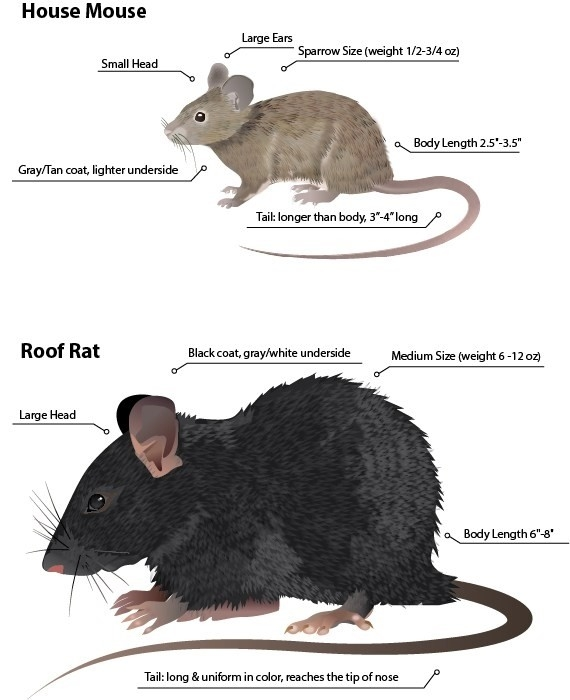 rat picture