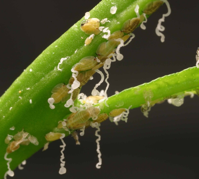 Asian citrus psyllid nymphs and waxy secretions
