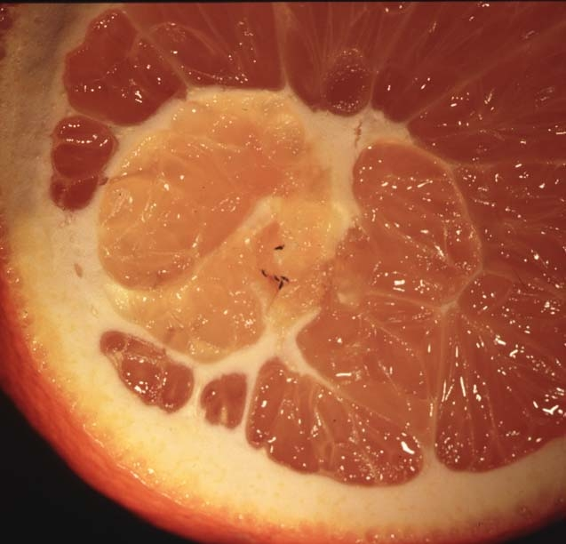 Bean thrips work their way into the navel of citrus fruit