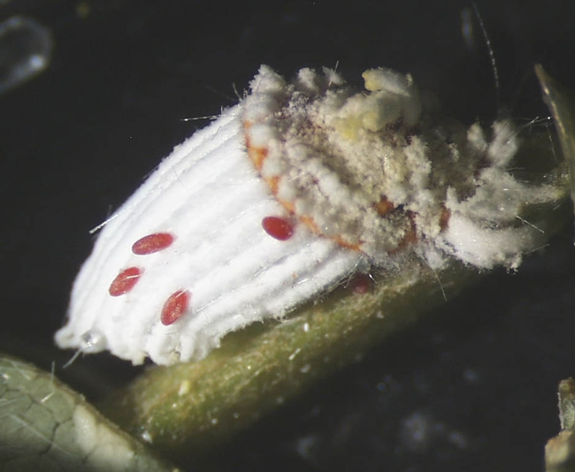 vedalia beetle eggs on the egg sac of the scale