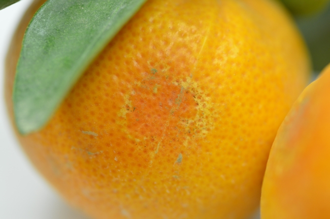 Circular rind damage in mandarins
