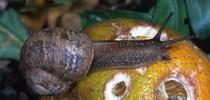 snail for Citrus Bugs Blog