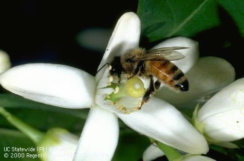 honey bee on citrus