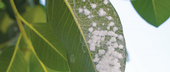 PREVENTION The first step to controlling citrus mealybugs is to monitor trees in the spring for signs of ant trails, sooty mold, and egg clusters.