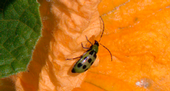 It's not too difficult to see how the spotted cucumber beetle acquired its common name.